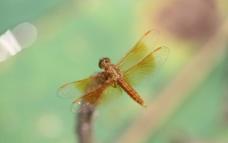 微距蜻蜓图片