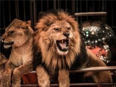 狮子 雄狮图片