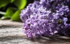 清新紫丁香图片