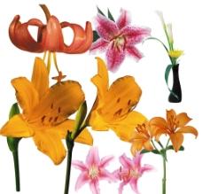 百合花素材图片