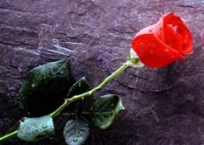 花 红色玫瑰花图片