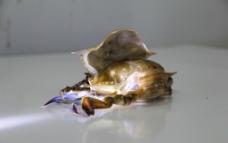 软壳蟹实物图图片
