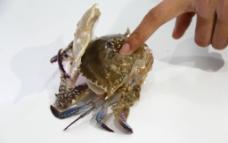 软壳蟹图片