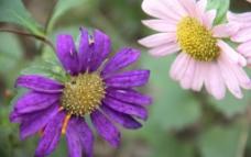 紫色的印度菊图片