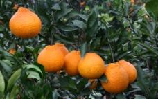 橙子  橘子图片