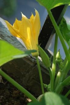 金蝶瓜图片