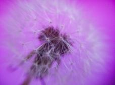 紫色蒲公英背景