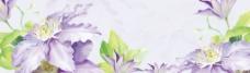 紫色菊花图片