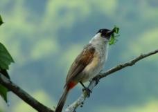 红屁股鸟图片