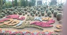 仙人球花坛图片