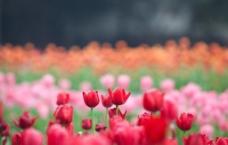 紅色郁金香圖片
