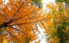 黄叶满天图片