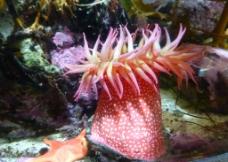 红色海葵图片