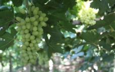 吐鲁番的葡萄图片