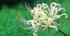 红花石蒜图片