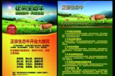 生态健康牛图片