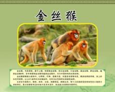 金丝猴简介图片