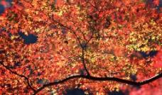 红叶风光图片