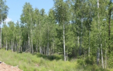 天然桦树林图片