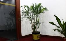 竹子盆栽图片